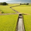 Golden paddy rice farm — Stockfoto