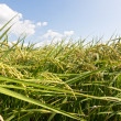 Rural scenery of paddy — Stock Photo