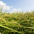 Stock Photo: Rural scenery of paddy