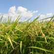 Rural scenery of paddy — Stock Photo #34584561