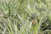 Ananas ferma — Zdjęcie stockowe