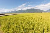 Golden paddy rice farm — Stock Photo