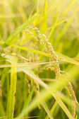 Golden paddy rice farm — Stock Photo