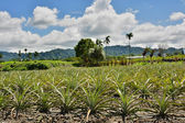 Ananas-farm — Stockfoto