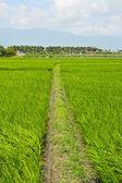 Azienda agricola riso nel paese — Foto Stock