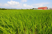 Reis-farm im land — Stockfoto