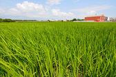 Granja de arroz en el país — Foto de Stock