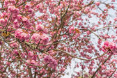 Cherry blossom scenery — Stock Photo