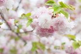 Sakura flowers — Stockfoto