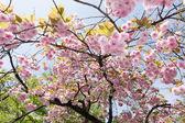 Sakura flowers — Stock Photo