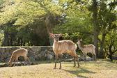 Nara deer — Stock Photo