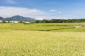 Landscape of paddy farm — Stock Photo