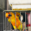 Parrot want to escape — Stock Photo #50451115