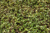 Green wall with ivy background — Stockfoto