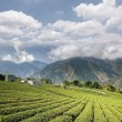 Tea farm — Stock Photo #51420425