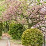 Sakura on the road — Stock Photo #51495065