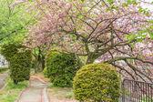 Sakura on the road — Stock Photo