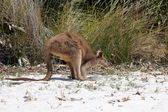 Young kangaroo on white sand — Stock Photo