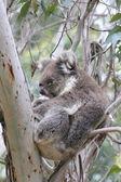 Koala dormir dans l'arbre d'eucalyptus — Photo
