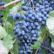 Heavy blue bunch of grapes — Stockfoto
