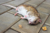 Redhead Rat poisoned by toxic bait — Stock Photo