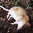 Stock Photo: Redhead poisoned rat on the field