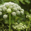 Stock Photo: Cuddly inflorescence umbrellplant