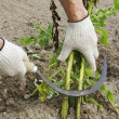 Mowing potato haulm before digging — Stock Photo