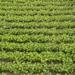 Crops of mustard as a green manure an field — Stock Photo