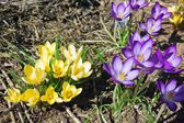 Yellow and purple crocuses — 图库照片
