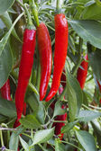 In vegetable garden grows bush with pepper — Stock Photo