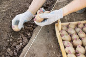 Jarovize and  planting potatoes  manually in your garden — Stock Photo