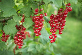 Branch with berries of red currant — Stock Photo
