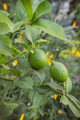 Two immature lemon on a branch in a garden — Stock Photo