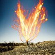 Stock Photo: Burning thorn bush