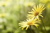 Yellow flower background — Stock Photo
