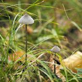 Mycena Mushroom — Stock Photo