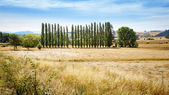 Dry field and poplars — Stock Photo