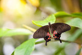 Butterfly Parides Photinus — Foto Stock