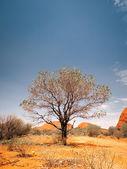 Australia desert tree — Stock Photo