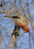 Pine grosbeak — Stock Photo