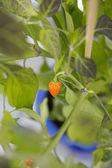 Chili fruits — Stock Photo