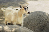 Cute creme color goat — Stock Photo