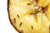 Moscas de fruta na banana a apodrecer — Foto Stock