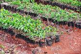 Coffee plants — Stock Photo