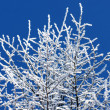 Trees covered in frost over bright blue sky — Stock Photo