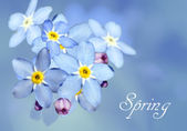Forget-me-not flower over blue — Stock Photo