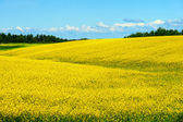 Hills of canola in bloom — Stock Photo