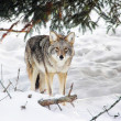 Stock Photo: Wild coyote