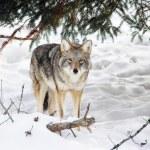 Wild coyote — Stock Photo #23946311